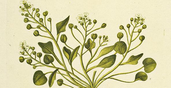 illustration fra Flora Danica